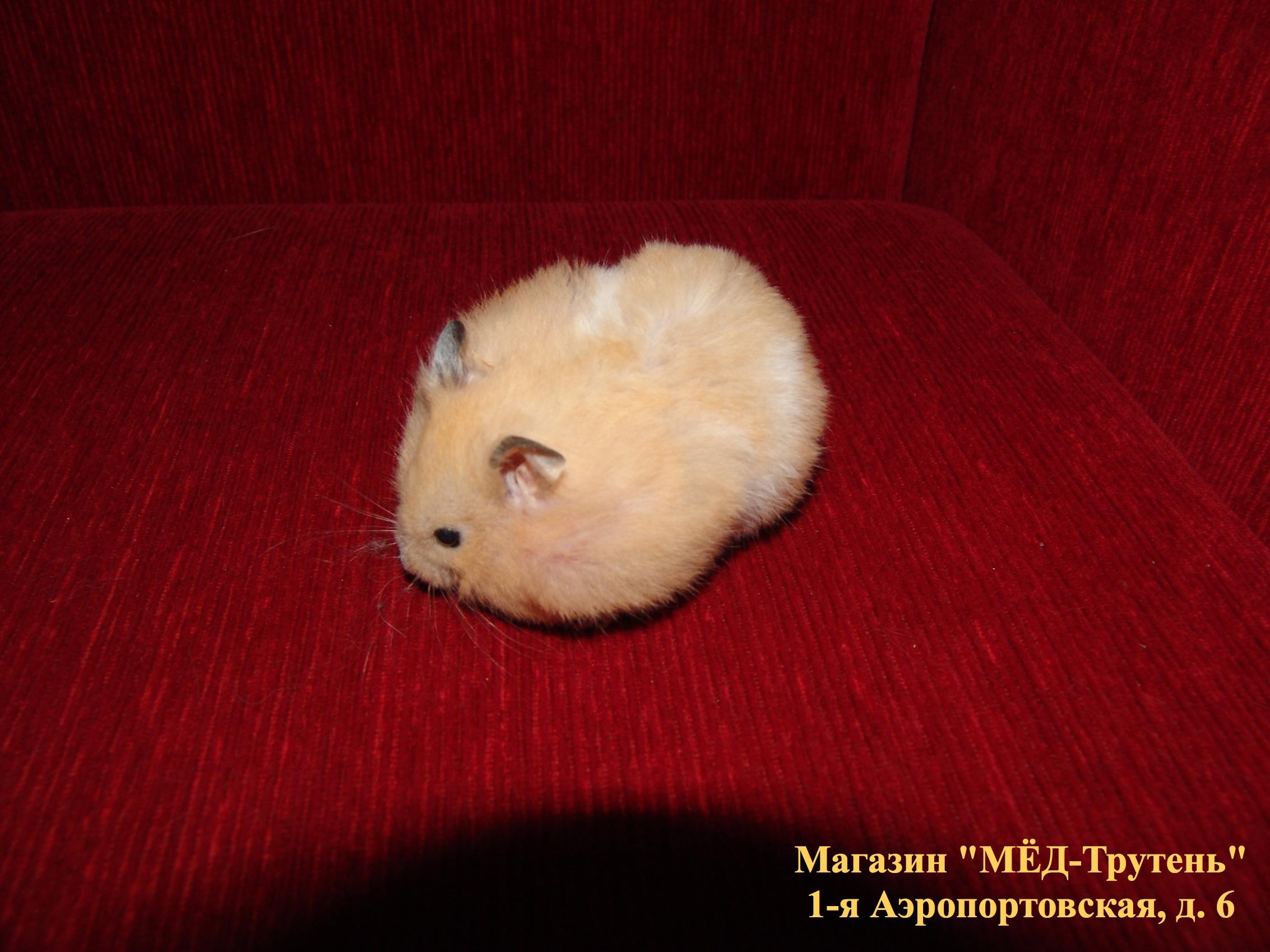 Злой хомяк на красном диване.jpg