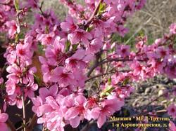 Розовый персик, абрикос в Крыму