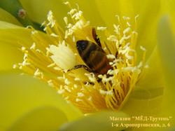 Пчела ныряет в кактус