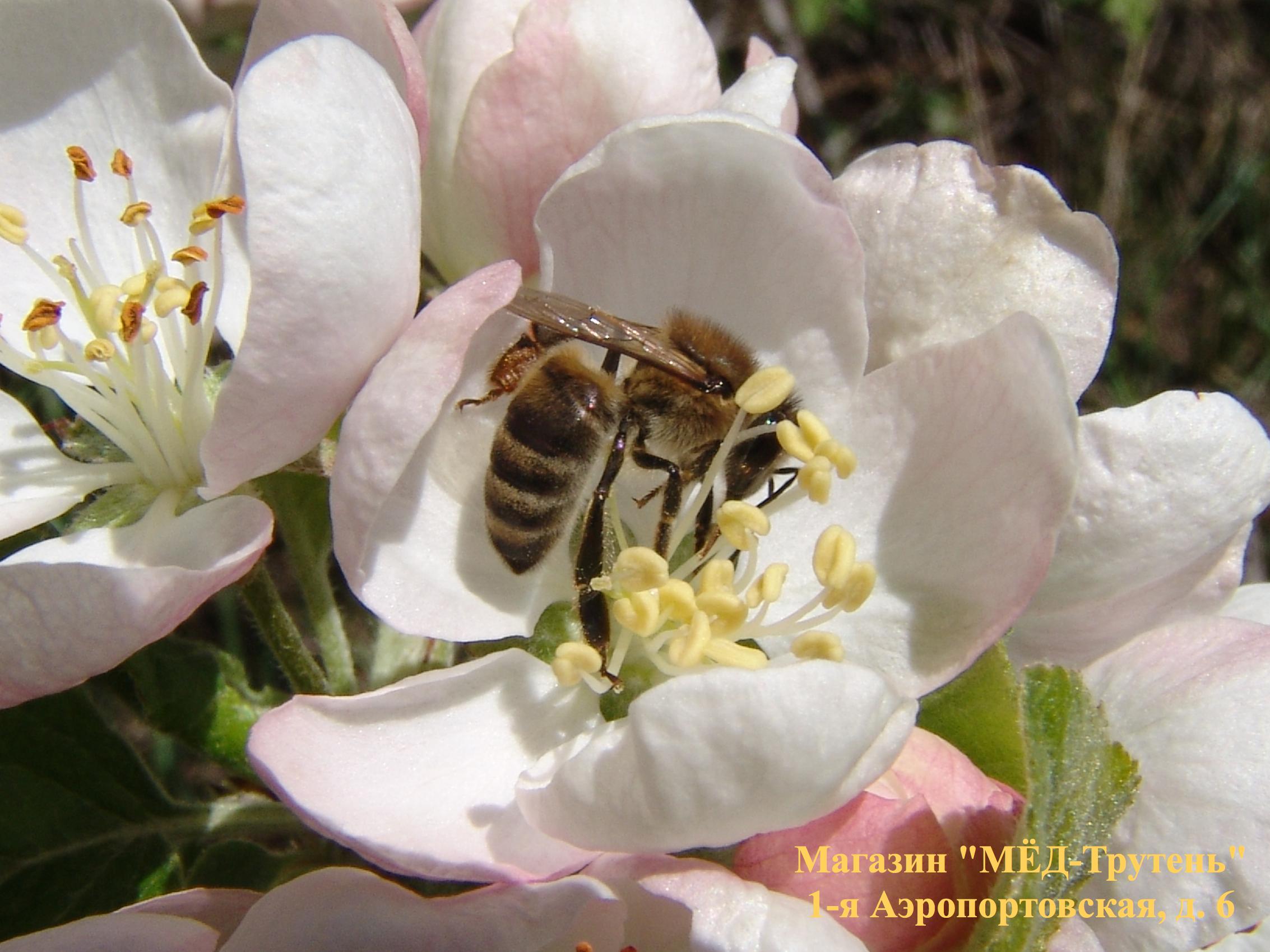 Пчела на яблоне в Крыму