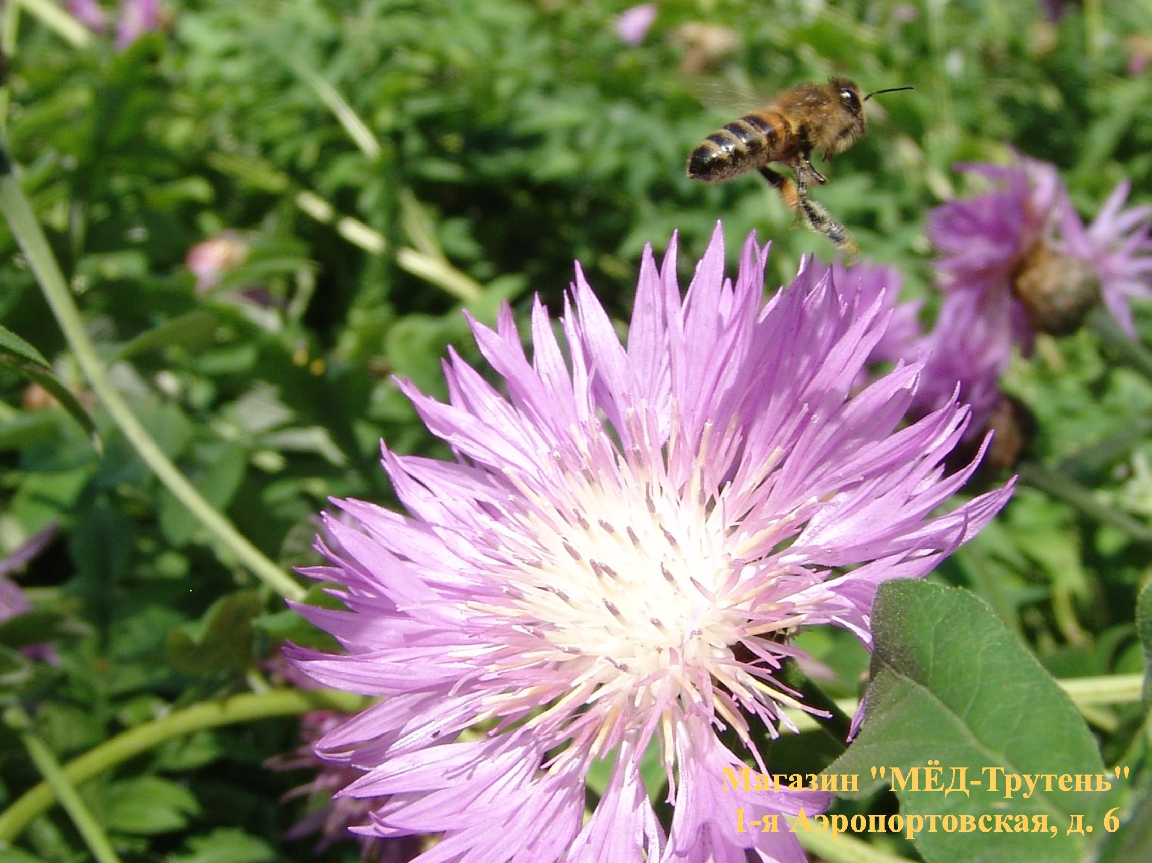 Пчела-Зайчик