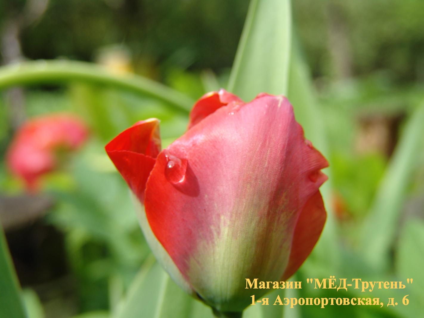 Капелька на розе