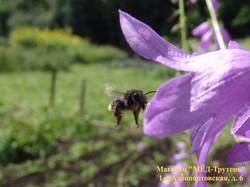 Влет пчелы в колокольчик