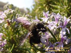 Черная пчела в Крыму.jpg
