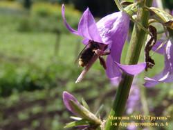 Пчела с пыльцой сидит на пестике