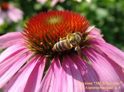 Пчела НИИ пчеловодсва