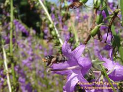 Пчела влетает в колокольчик