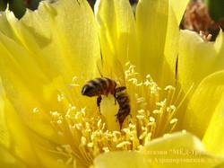 Пчела на пестике кактуса