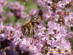 Мне нравится этот цвет и эта пчела.