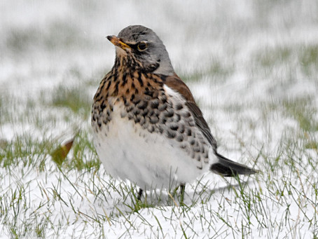 Alyth Bird Blog #9 - winter update