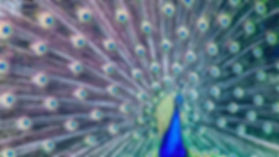 Peacock, evolution