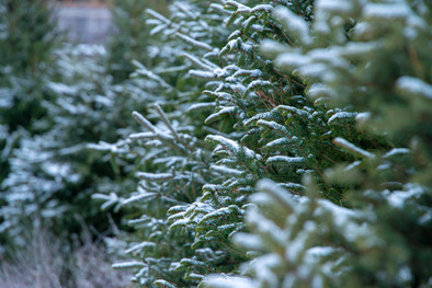 Close up of snow covered trees