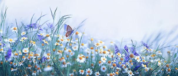 Beautiful wild flowers chamomile, purple
