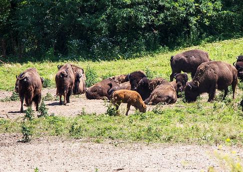 Lee G. Simmons Wildlife Safari bison calf
