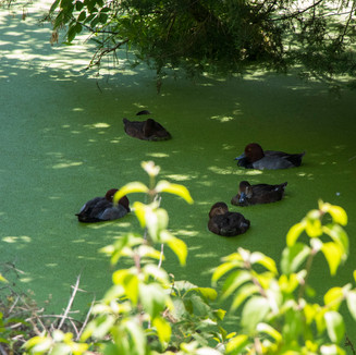 Lee G. Simmons Wildlife Safari ducks