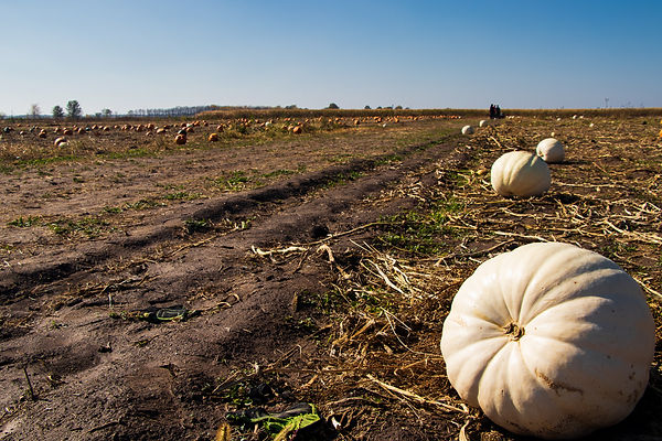 Applied Worldwide photograph of white pumpkins for article on the sociology of marijuana and halloween
