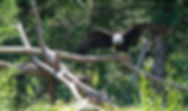 Bald Eagle at Lee G. Simmons conservation park and wildlife safari