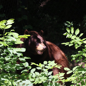 Lee G. Simmons Wildlife Safari black bear