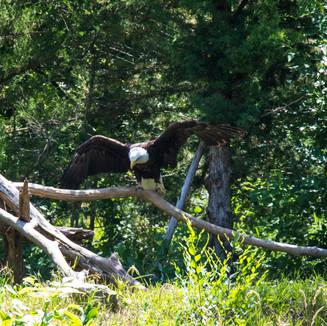 Lee G. Simmons Wildlife Safari bald eagle