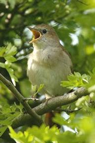 nightingale_nb180_tcm9-93590.jpg