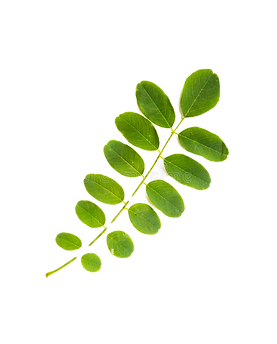 feuille-d-acacia-32329516_edited.png