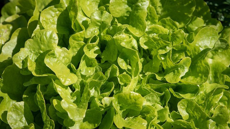 Salade (à l'unité)