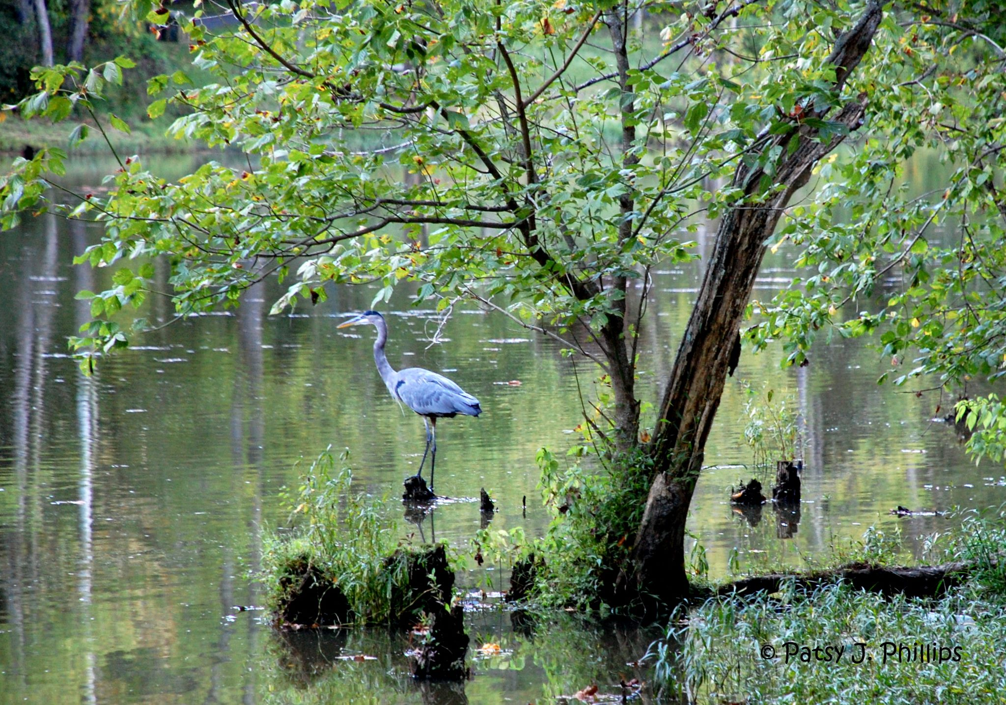 Oxbow Lake Heron