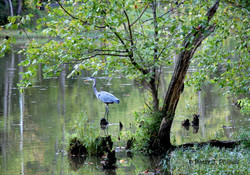 Oxbow Lake Heron