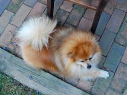 Shea Dog