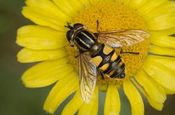Hoverfly Helophilus hybridus