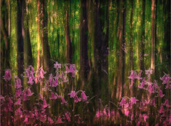 PINK BLUEBELLS by Laura Drury