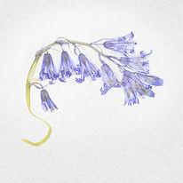 BLUEBELLS by Cherry Larcombe.jpg