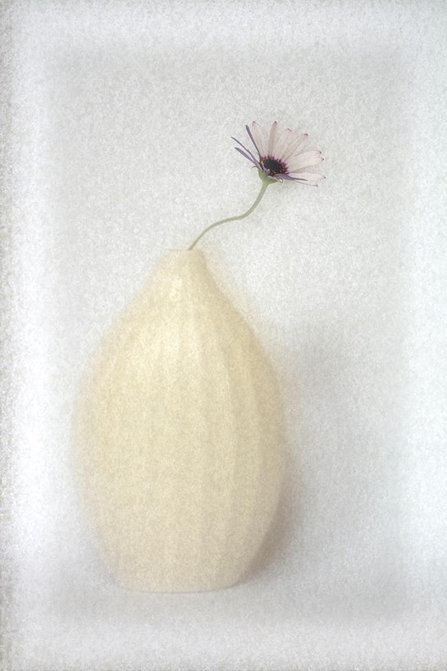 Single Osteospermum in Vase