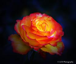 EVENING SUN ROSE by Lorina Dean 02
