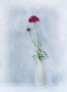scabius in vase 2.jpg
