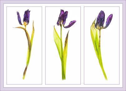 tulipt trip copy.jpg