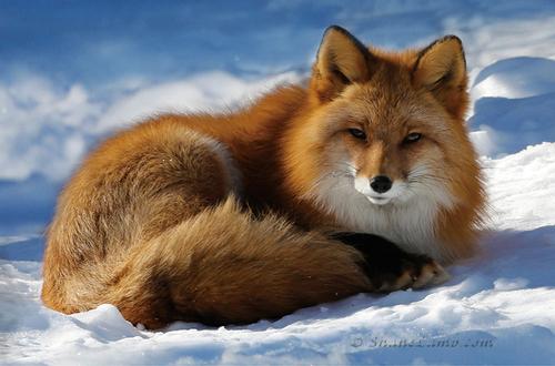 Red+Fox+-+Nap+Time-2 - Copy - Copy - Cop