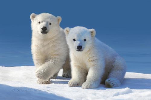 Cub+Cakes+-+Polar+Bears - Copy