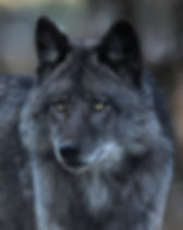 Black Wolf Portrait - Metal.jpg