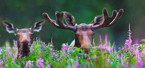 Peek-A-Moose (paper)