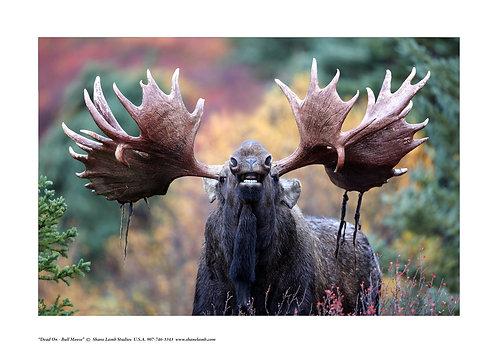 Dead on Bull Moose Portrait (paper)