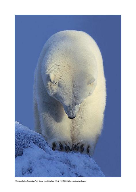 Contemplation Polar Bear