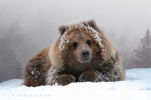 Grizzly+Cub+Portrait-3 - Copy