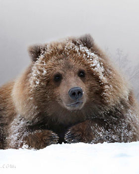 Grizzly+Cub+Portrait-3 - Copy.jpg