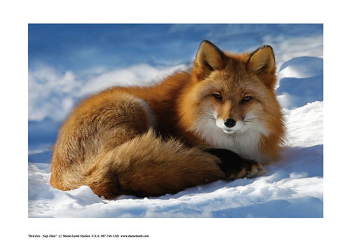 Red Fox Naptime