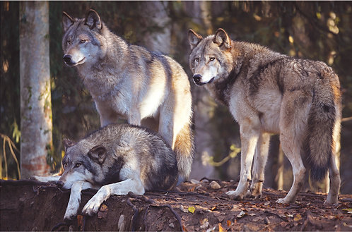 Alaska Wolf Trio (metal)