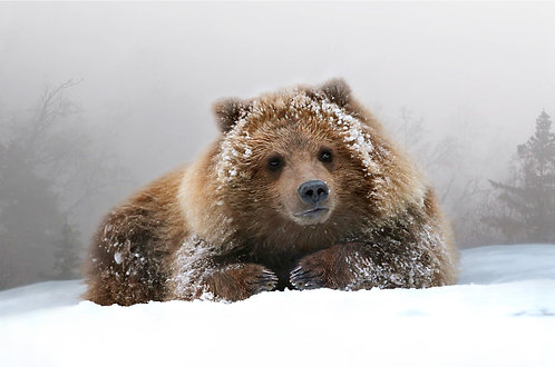 Grizzly Cub Portrait