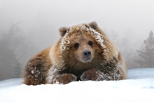 Grizzly Cub Portrait (metal)
