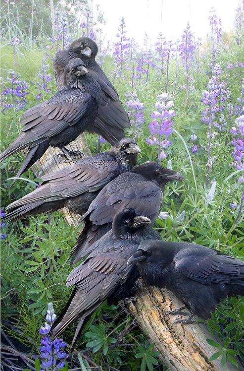 Raven Rendezvous