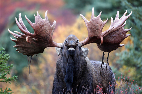 Dead+On-Bull+Moose-3 - Copy